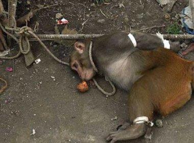 Macaco acusado de roubo na Índia é amarrado e jogado em cela