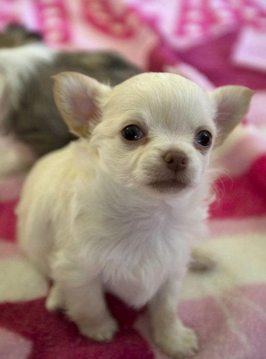 Fotos De Perros De Raza Chihuahua Imagenes De Perros