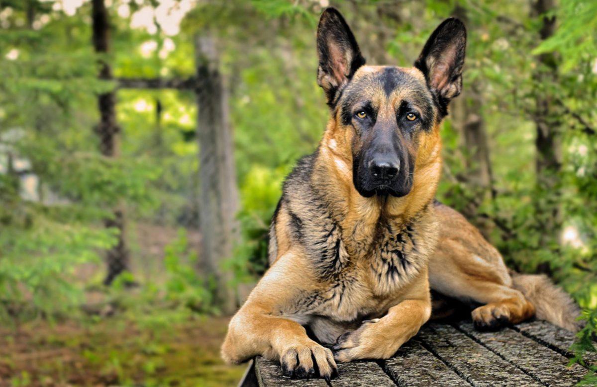 Imagenes para fondo de pantalla de perros de raza pastor for Fondos de pantalla de perritos