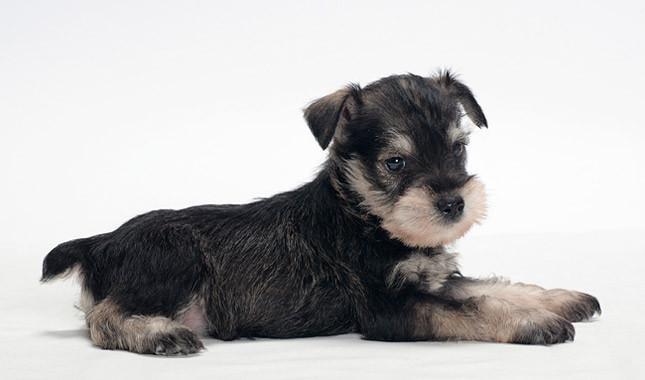 Dog Hairy Eyebrows Long Ears