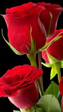 Im 225 Genes De Flores Hermosas Y Bonitas Rosas Exoticas De