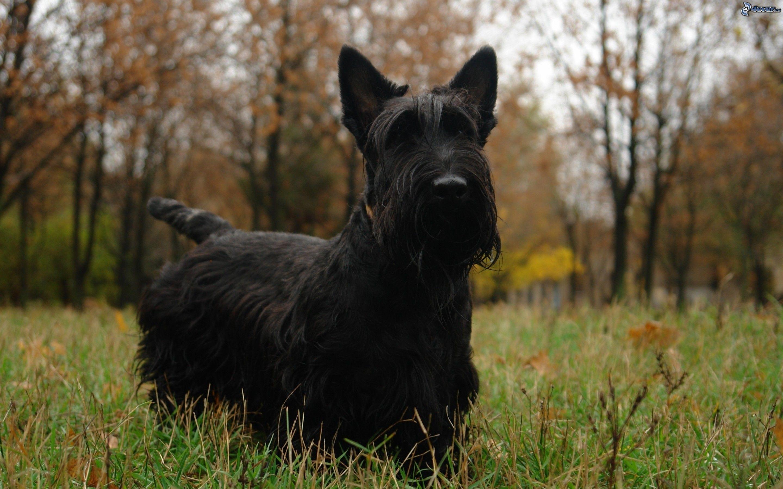 Terrier Escocs