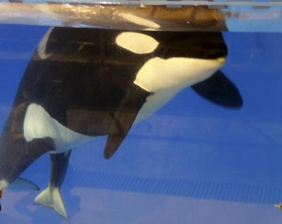 Kohana, una orca de 8 años, ha dado a luz en las instalaciones del Loro Parque (Tenerife) a una cría de 150 kilogramos de peso.