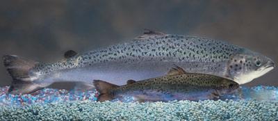 El salmón transgénico dobla en tamaño a la variante salvaje con la misma edad. AP