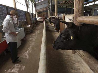 Un trabajador cuida a su vaca en la prefectura de Fukushima.-
