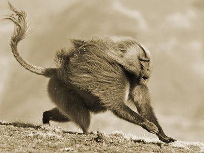 Un babuino gelada, pariente actual del extinto Theropithecus oswaldii'.
