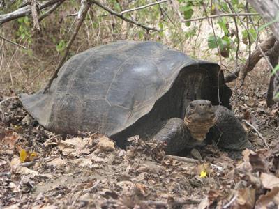 Uno de los híbridos analizados, hijo de una tortuga de Floreana. universidad de yale