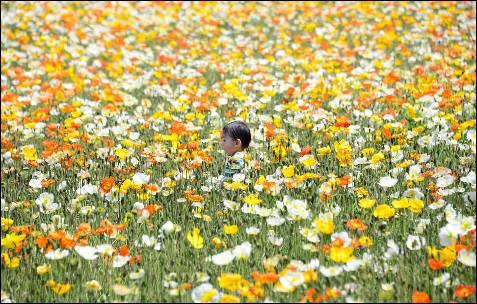 Un niño juega en un campo de amapolas en plena floración, en el Showa Memorial Park, en Tokio.