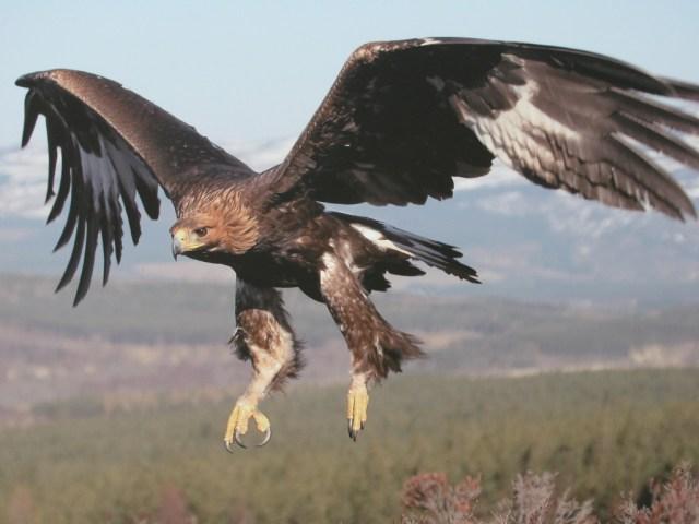 Bella Aguilas Real Volando
