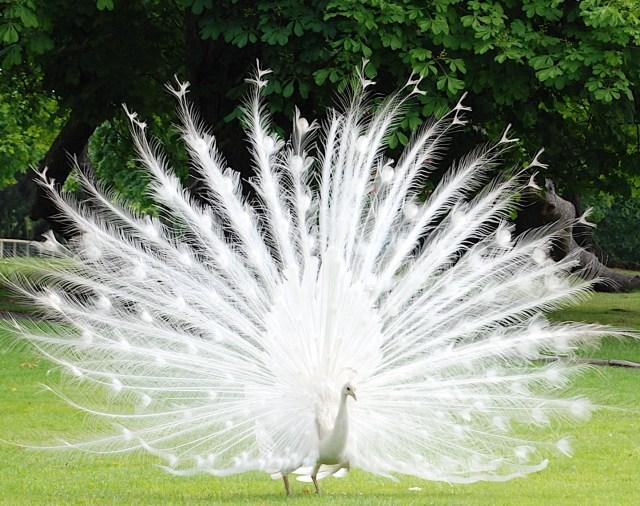 Imagen pavo real blanco