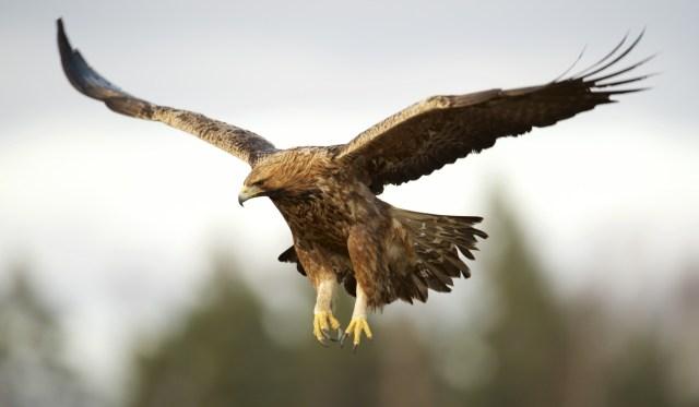 Imagenes Bonitas de Aguilas Reales Con Las Alas abiertas