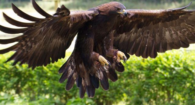 imagenes del águila real para fondo de pantalla