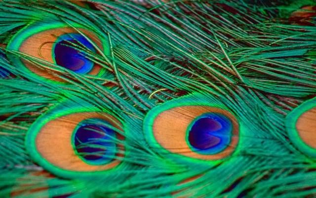 ojos manchas cola pavo real