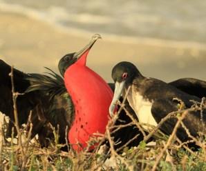 Imagenes De Pájaros de Fragata Para Descargar