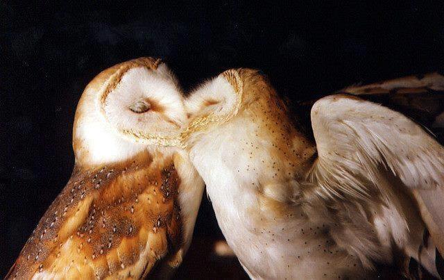 imagenes de aves enamoradas besandose Para Fondo De Celular