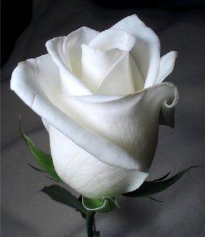 Descargar imagen rosa blanca
