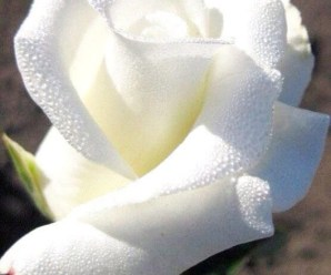 Imagen De Una Hermosa Rosa Blanca Para Whatsapp