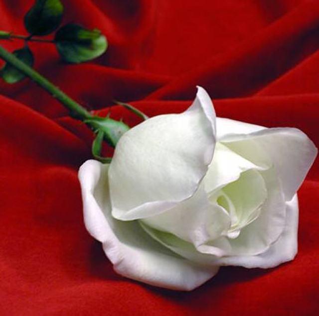 Imagen hermosa rosa blanca fondo rojo para el celular