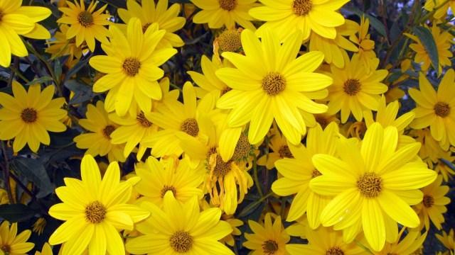 Primavera floes amarillas para fondo de pantalla