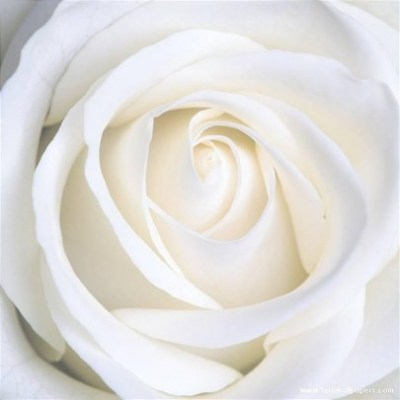 Rosa blanca de amor