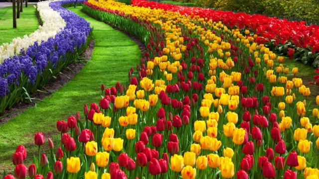 Imagenes de jardin de tulipanes