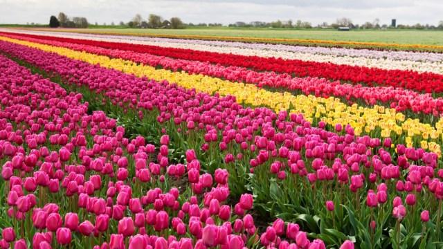 Campo de flores del jardin Keukenhof en Holanda