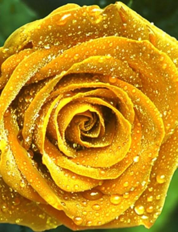 Imagen de una rosa amarilla con rocio