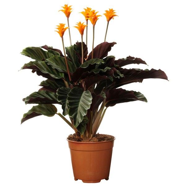 Imagenes de la planta Calathea