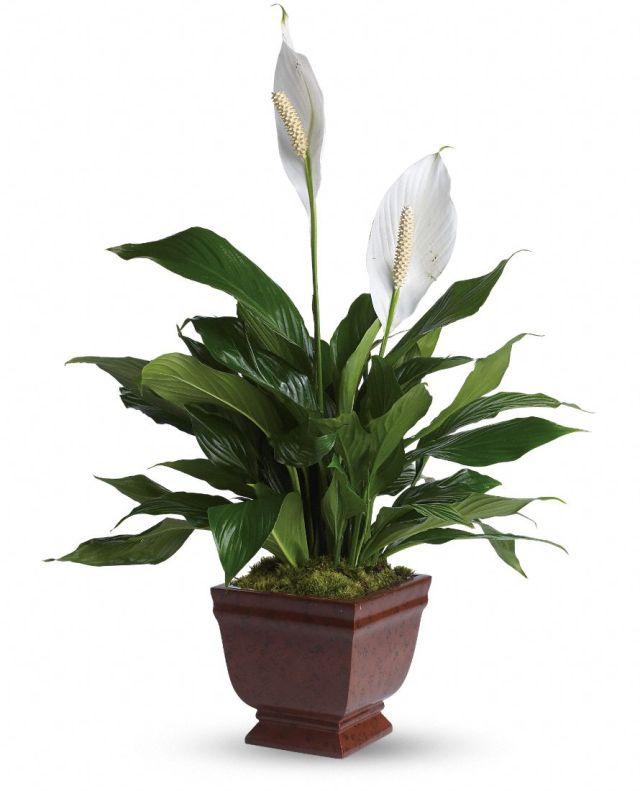 Imagenes de la planta Paz Lily