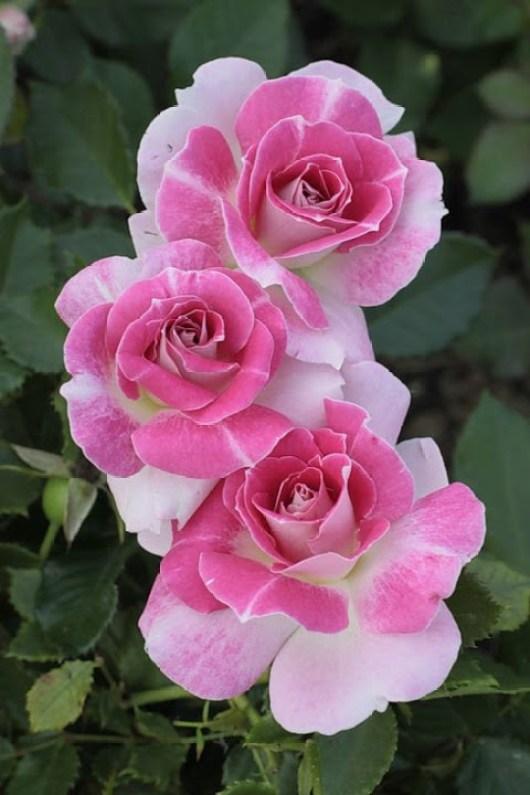 Bonitas imagenes de flores para enviar por mensajes de whatsapp
