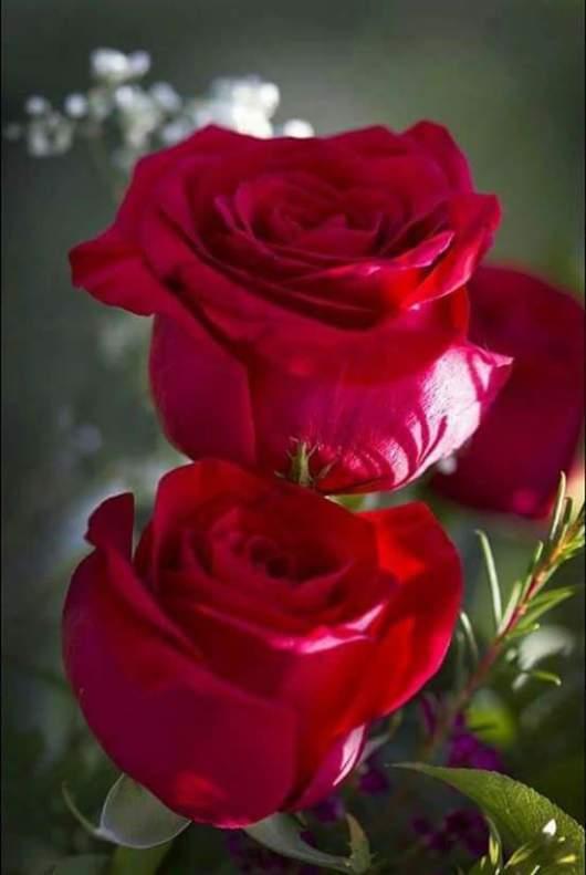 Lindas rosas rojas para enviar por whatsapp