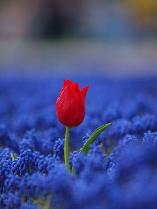 Linda imagen de rosa roja para enviar por whatsapp