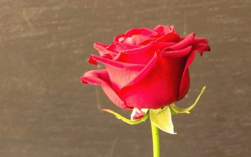 Rosas para enviar por whatsapp