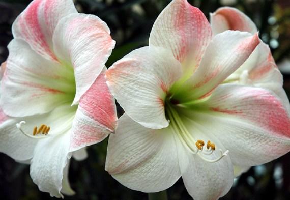 amarilis-flores-para-navidad