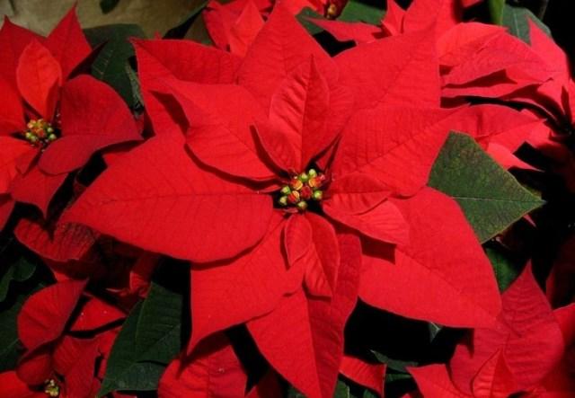 flor-navidena-poinsettia