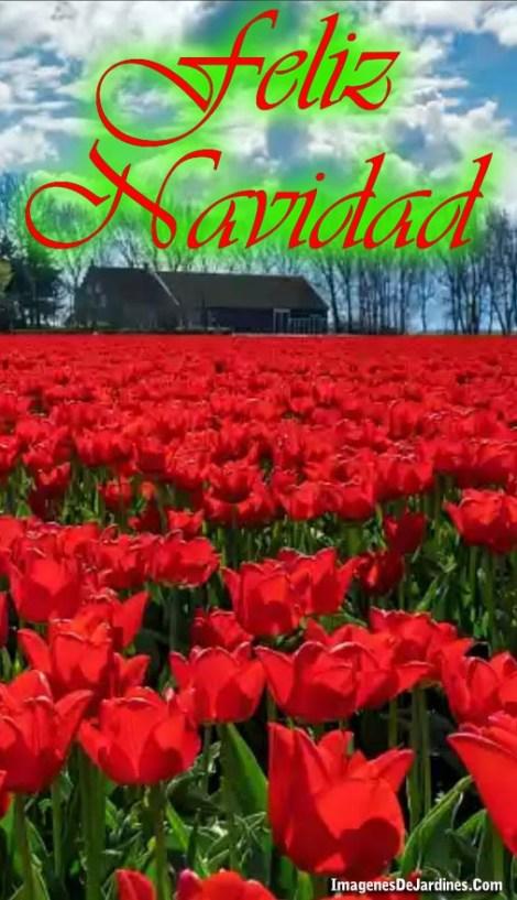 imagenes-de-flores-rojas-con-el-mensaje-feliz-navidad