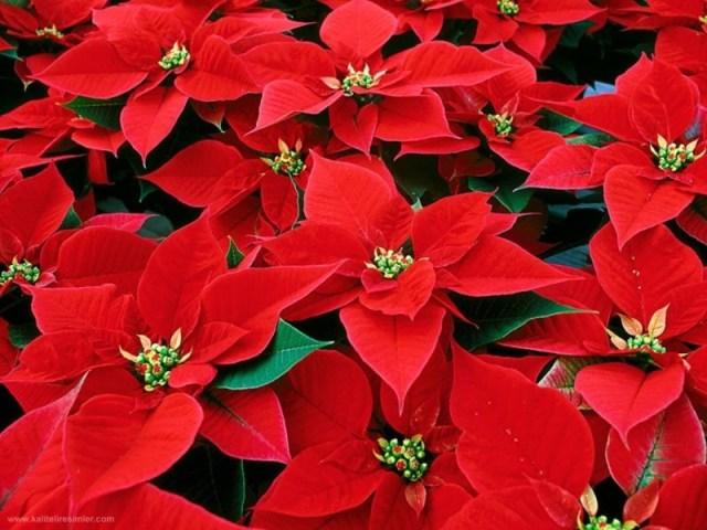 imagenes-de-la-poinsettia-flor-navidena