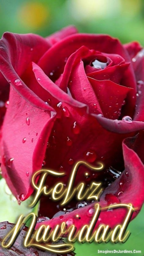imagenes-para-dar-feliz-navidad-con-rosas-rojas