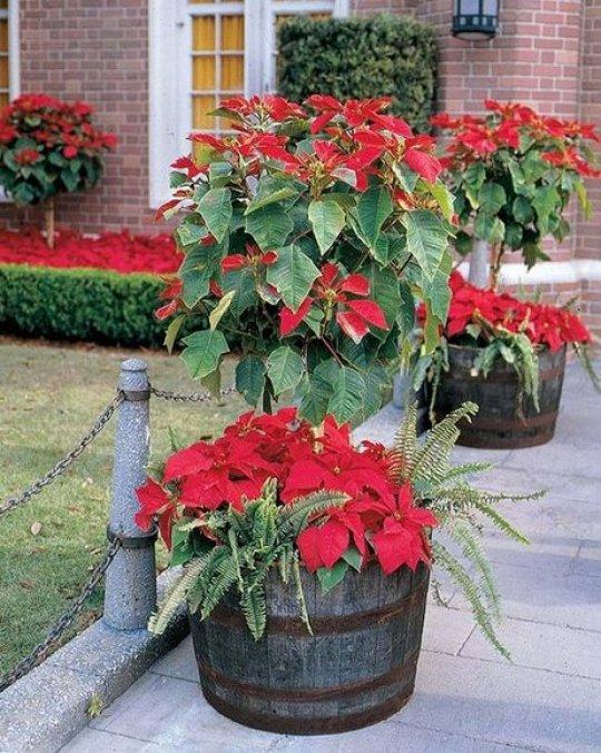 imagenes-de-jardines-con-flores-de-navidad