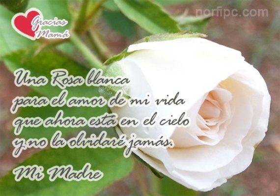 Una rosa blanca con mensaje para el amor de mi vida que esta en el cielo mi madre