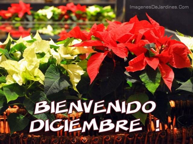 Bienvenido Diciembre para compartir por whatsapp con imagenes de flores