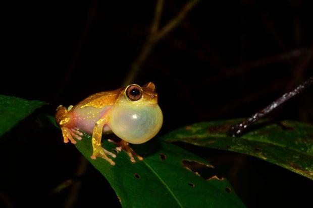 Em duas expedições à Amazônia, pesquisadores de São Paulo coletaram animais de pelo menos 12 espécies ainda não catalogadas de sapos e lagartos