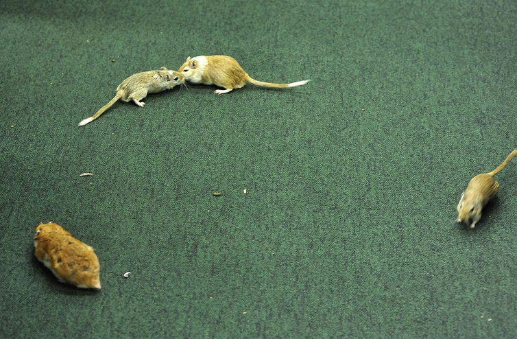 Logo após o tesoureiro do PT, João Vaccari Neto, chegar à CPI da Petrobras, um homem soltou ratos no plenário (Luis Macedo / Câmara dos Deputados)