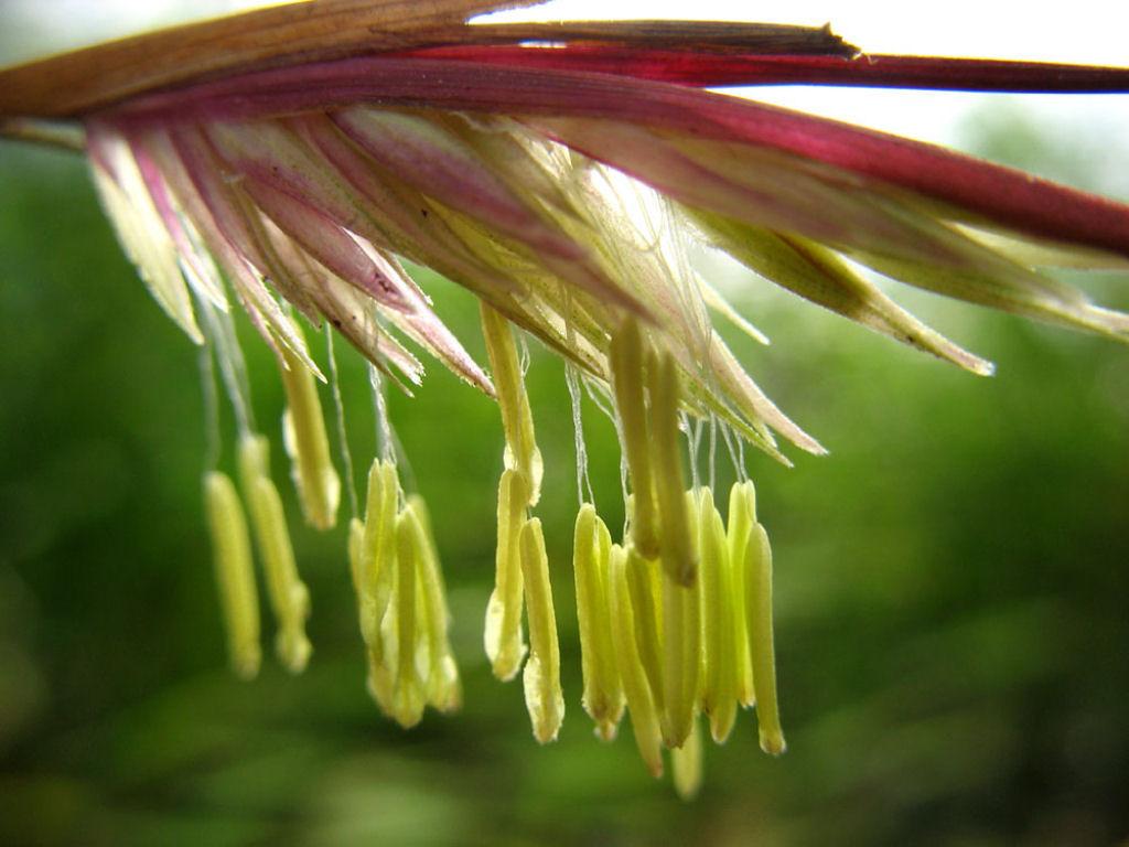 Conhece o misterioso fenômeno da florescência do bambu? 06