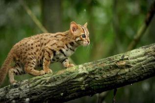 O menor gato do mundo é ridiculamente fofo e temos fotos para provar