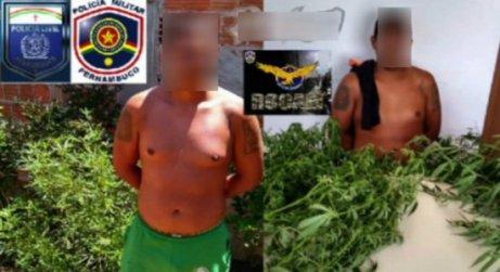 Image result for Polícia prende suspeito de plantar maconha e dizer que seria para ''enfeites de natal''
