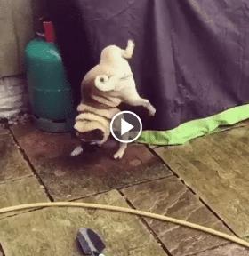 Cachorro fazendo xixi em 180 graus