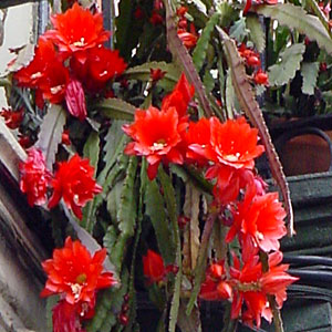 BUSCO Epiphyllum ackermannii de flor roja  Foro de InfoJardn