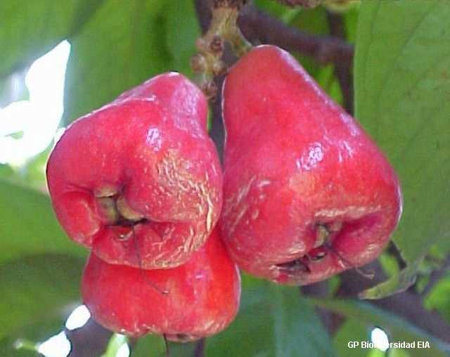 Syzygium oleosum frutal con frutos tipo cerezas foto