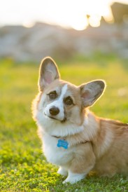A corgi photographed during a pet session in Old Town Alexandria